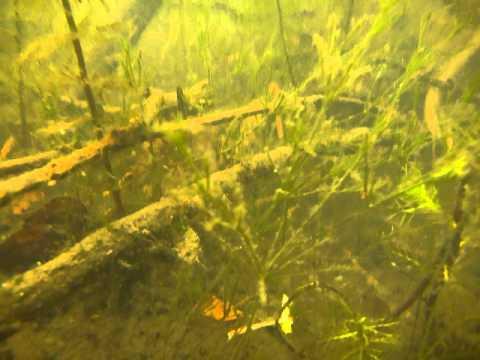 krynicznik giętki Nitella flexilis, Katowice