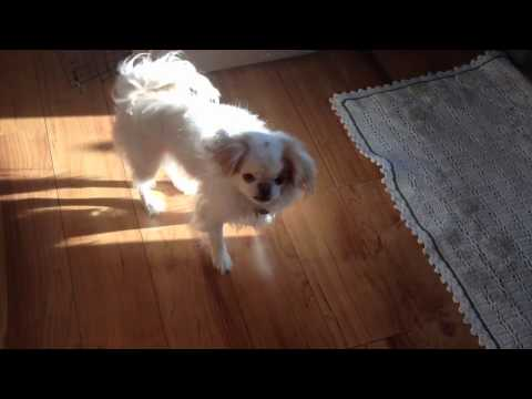 My Japanese Chin Dog