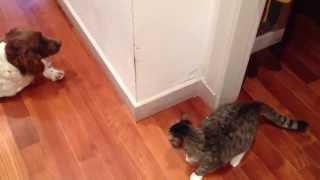 Are U Dog Or Cat? English Springer Spaniel Love