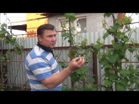 🍇#Виноград. Ошибки начинающих виноградарей.