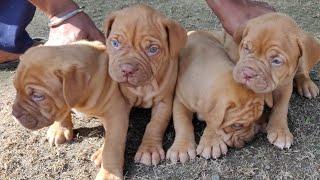French Mastiff  Puppy  for sale,Are French Mastiff Aggressive? Doggyz World, 9896504757, 9053119992