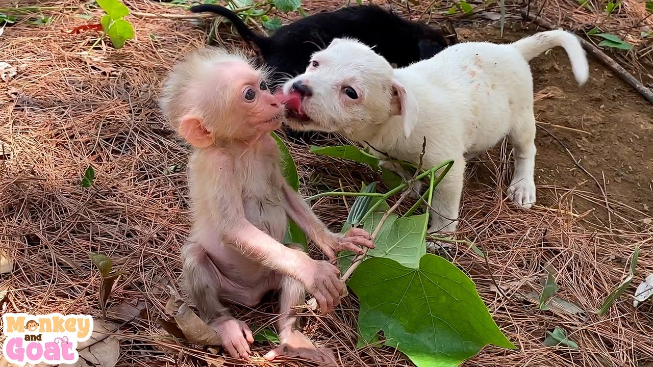 Baby monkey and puppies playing fun