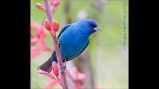 Indigo Bunting song is an essential part of spring in breeding grou...