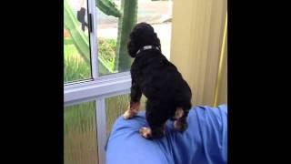 Cocker Spaniel Busy Guarding Home Turf.