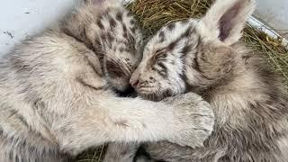 Обнимашки белых тигрят ! Нападение на куртку )