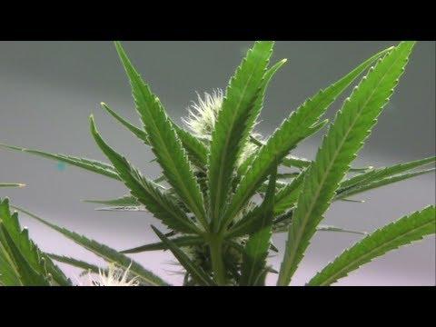 Jobs In Illinois' Recreational Marijuana Industry: Newsviews, Part 2 Of 2