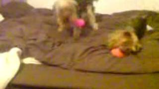 these are my yorkshire terriers playing with their squeaky toys, th...