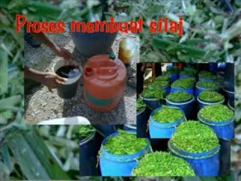 How to make silage from napier grass