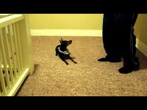 Kesha (manchester terrier) tricks 2