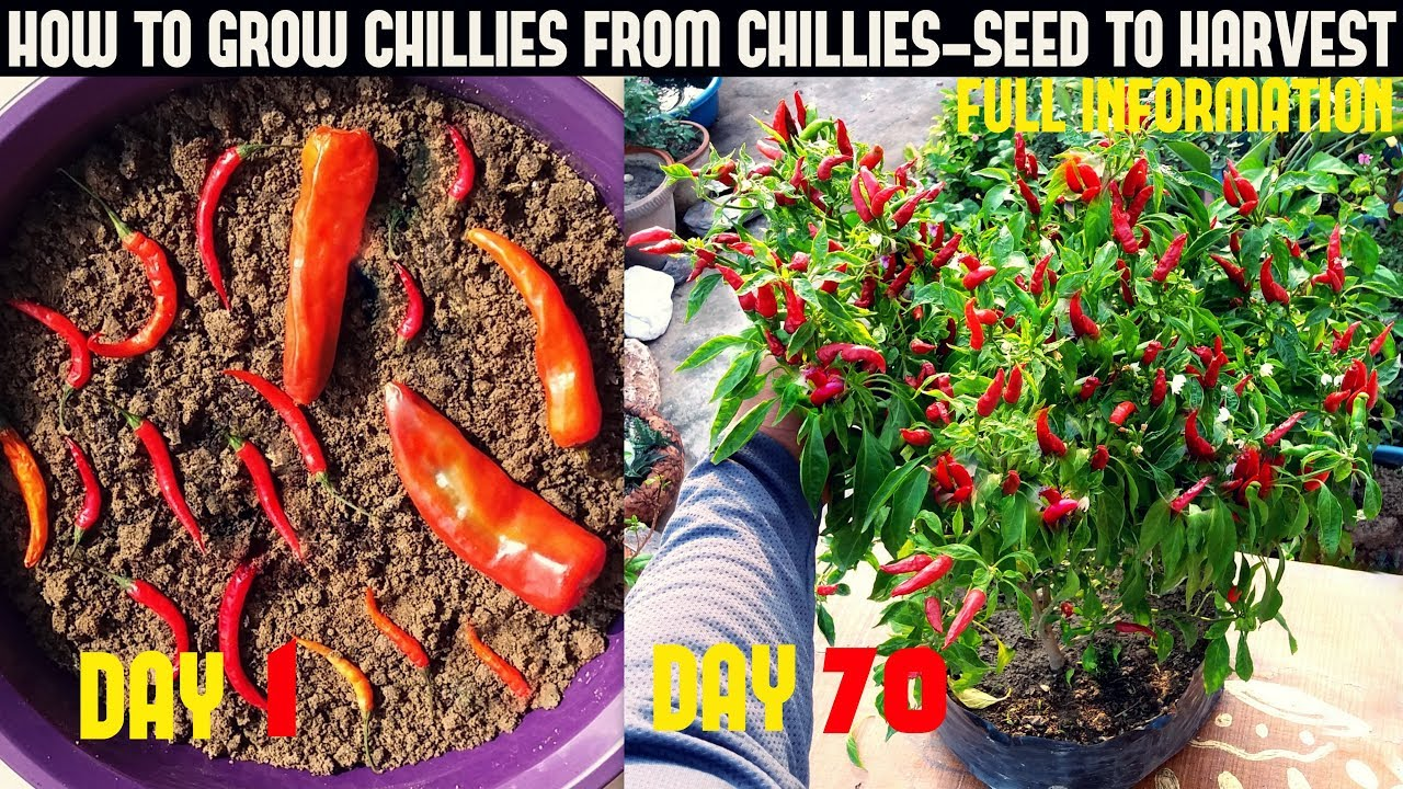 Growing Peppers In Your Vegetable Garden: How To Grow Chillies At Home