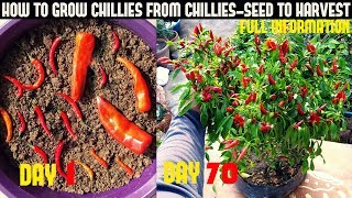 How To Grow Chillies At Home|100+ chillies per plant|Seed To Harvest