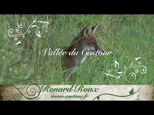 Superbe Renards Roux Vallée du Costour Brest