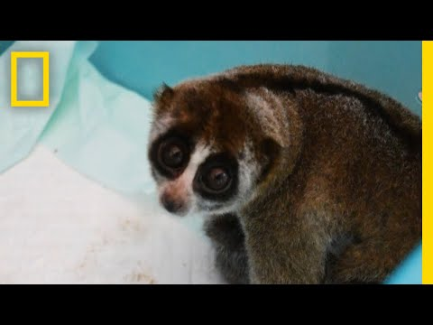 Slow Lorises Rescued From Illegal Pet Trade | National Geographic