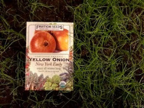 Growing Onions: Start from Seeds or Onion Sets?