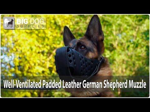 German Shepherd is in durable leather muzzle