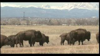 Bison Reintroduction to the RMA National Wildlife Refuge