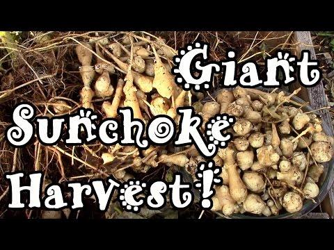 Giant Sunchoke / Jerusalem Artichoke Harvest!