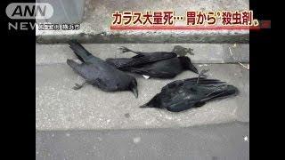 横浜・大量のカラス死骸 胃から