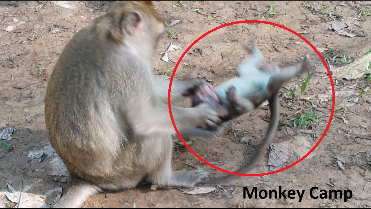 big monkey hit baby monkey, baby monkey cry, real life of baby