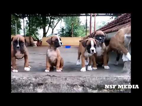 BOXER BREED PUPPY'S | BOXER PUPPY | BOXER CUTE PUPPY