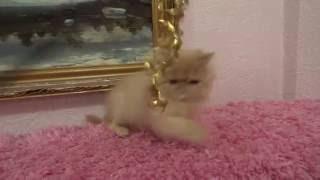 Рыжий персидский котенок на продажу
