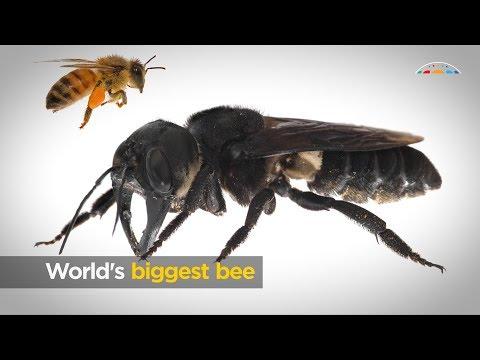 匿跡幾十年又露面 印尼再現世界最大蜜蜂