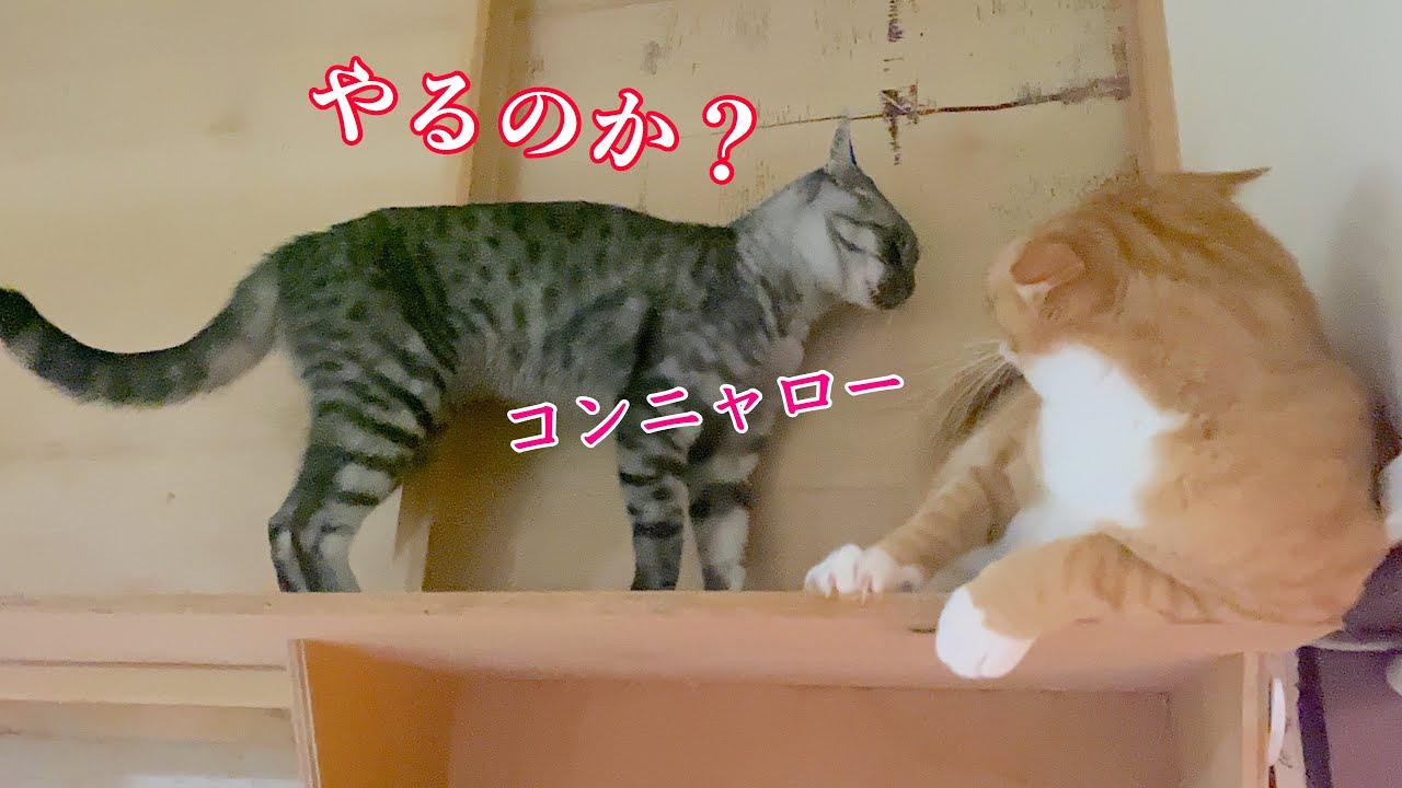 猫の喧嘩/一触即発⁉︎【保護猫】