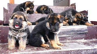 Продаются! Щенки Немецкой овчарки от Кейси и Райда. For sale! Puppies of the German Shepherd.