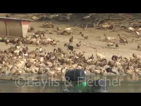Duck farm, Perak, Malaysia. 20150408_073935.m2ts