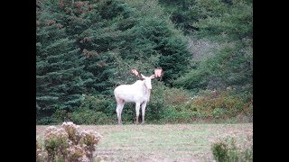 Man Finally Films A Very Rare White Moose After Trying For 3 Years