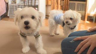 マルチーズとチワワのミックス犬「ミル」1歳とマルチーズの「モカ」1...