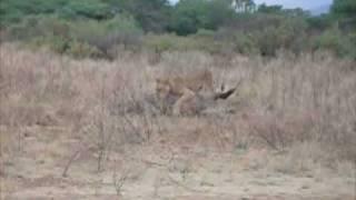 Lion tries to kill waterbuck, Samburu, Kenya