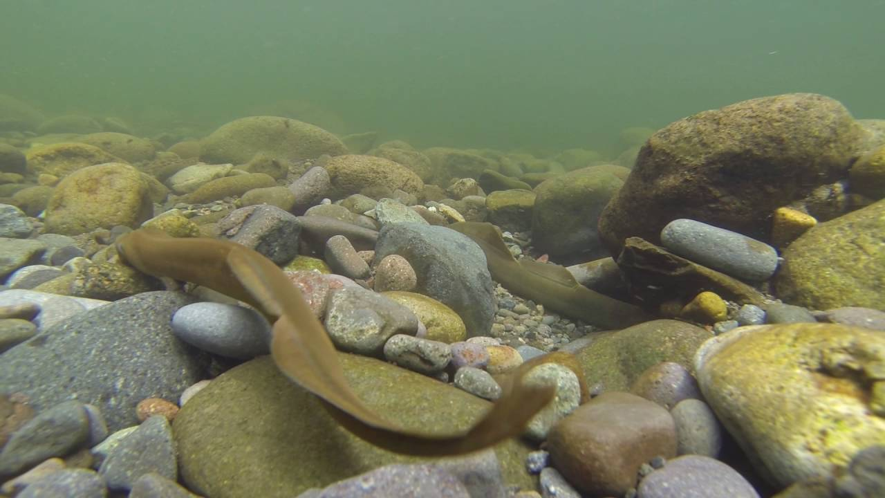 Lamprey On The Sandy River Youtube