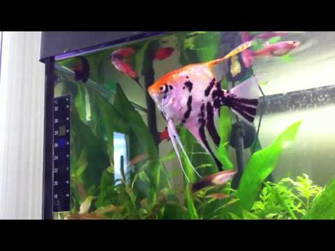 Featherfin Catfish, Angelfish And Aquatic Frog In My Aquarium