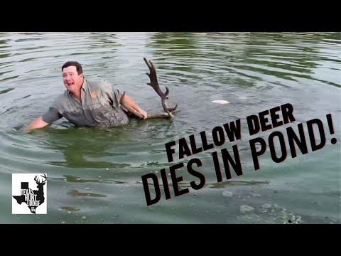 CROSSBOW Hunting - Fallow Deer Hunt - Runs Into Pond After Shot!!!