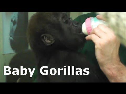 """Baby Gorillas - Stuttgart Zoo """"Wilhelma"""" Wonderful monkey babies /Affenbabys"""