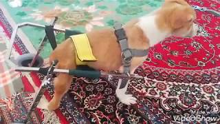 Now this little dog has a wheelchair. thanks for your helps