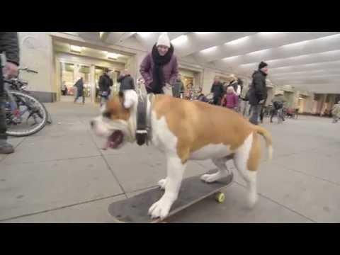 Skateboarding Bulldog Almost Ollies In Berlin!