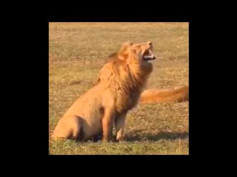 """Laughing"" Lion"