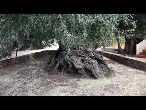The World's Oldest Living Olive Tree Is in Crete