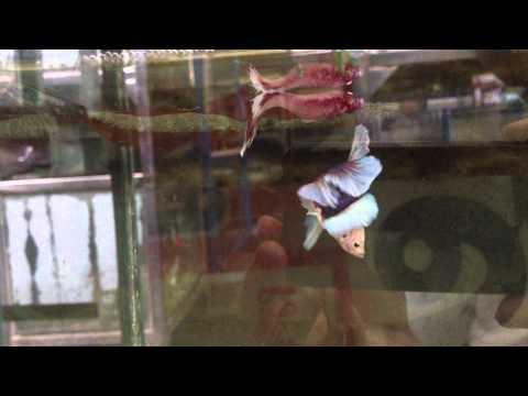 BREED BIG EARS เพาะปลาหูช้าง120902 ลุงอ๋า Goldenbetta.MOV