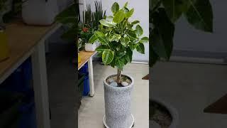 [꽃배달뜰]뱅갈고무나무 공기정화화분 개업화분추천