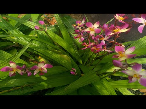 Arranging ground orchid in our garden