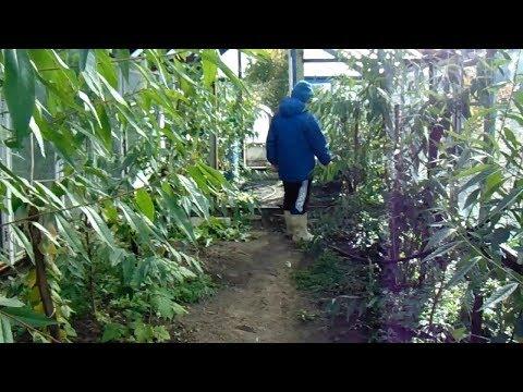 Выращивание персиков в теплице в Сибири