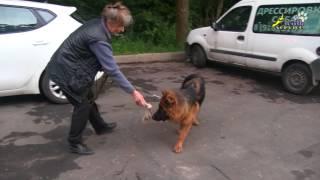 Собаки, ШОУ КЛАСС или РАБОЧЕЕ РАЗВЕДЕНИЕ: сравнение добычной реакции у двух щенков
