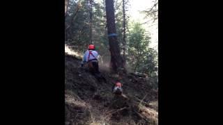 Falling a rotten fir snag, S. Oregon