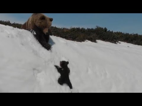 DJ Frosty - Determined Baby Bear Climbs Steep Mountain to Reunite with Mama
