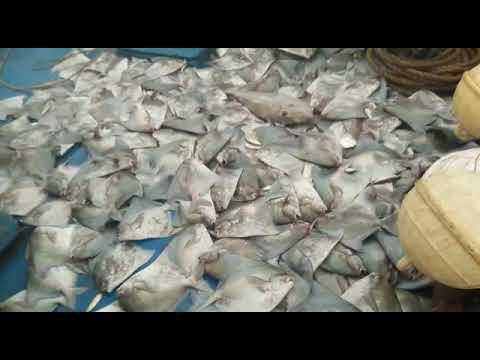 Silver Pomfret Fresh Fish