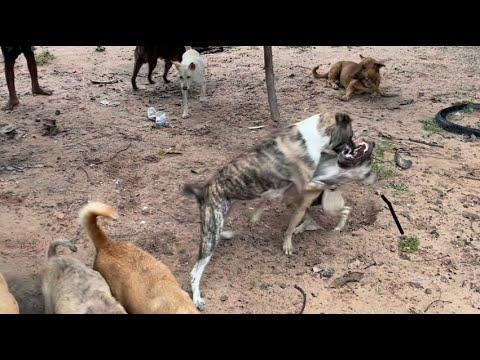 Download Poor dog has bad fighting