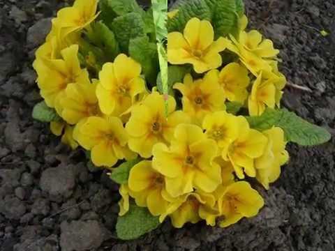 Фото цветов. Первые весенние цветы.